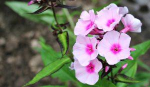 plantes pour guérir l'insomnie